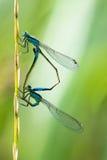 Para dragonflies obrazy stock