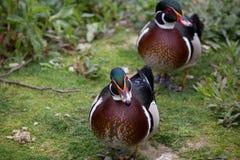 Para Drewniane kaczki Obrazy Royalty Free
