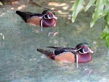 Para Drewniane kaczki Watuje w Płytkim Floryda stawie Fotografia Royalty Free