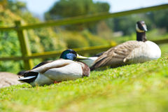 Para dwa pięknego kaczka ptaka na gazonie Obraz Stock