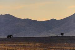 Para Dzicy konie przy zmierzchem Fotografia Stock