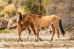 Para Dzicy konie Zaciera się w Arizona pustyni Obraz Stock