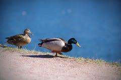 Para dzikie kaczki chodzi wzdłuż brzeg zdjęcie royalty free