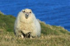 Para en un prado en la isla de Islandia Fotografía de archivo