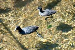 Para Eurazjatyccy Coots Pływa w Jasnej wodzie Fotografia Stock