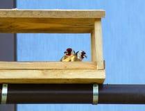 Para Europejscy szczygły w drewnianym dozowniku Zdjęcia Royalty Free