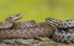Para Europejski żmii Vipera berus w republika czech, kobiecie i samiec, wpólnie fotografia stock
