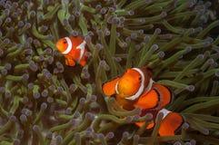 Para fałszywi clownfish w dennym anemonie w Filipiny Zdjęcia Stock