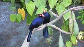 Para fiołkowy turaco ptak umieszczał w drzewie, także znać jako fiołkowaty banana zjadacza Musophaga violacea przedstawienie swój zdjęcie wideo
