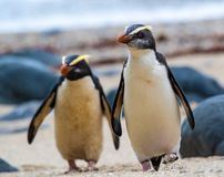 Para Fiordland czubaci pingwiny na Południowej wyspie Nowa Zelandia zdjęcia stock