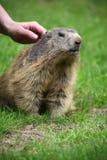 Para frotar ligeramente una marmota Imagen de archivo libre de regalías