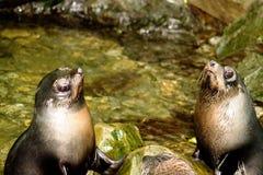 Para futerkowej foki ciucie zdjęcie royalty free