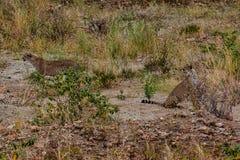Para gepardy patrzeje coś w pobliskiej odległości Tarangire park narodowy Tanzania obrazy stock