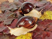 Para Gigantyczni afrykanina Achatina ślimaczki na kolorów gronowych liściach Obraz Stock