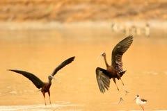 Para glansowany ibis obrazy royalty free