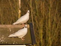 Para gołąbki na dachu Obrazy Royalty Free
