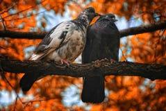 Para gołębi ptaki w miłości Zdjęcie Royalty Free