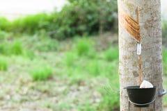 Para gummi är den viktiga växten av Thailand och växten som är ekonomisk av sou royaltyfri foto