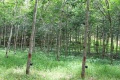 Para Gumowego drzewa plantacja Zdjęcie Stock