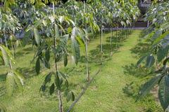 para gumowego drzewa potomstwa Fotografia Stock