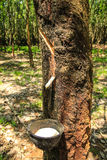 Para gumowy drzewo Zdjęcie Stock