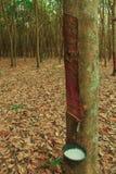 Para gumowy drzewo Obrazy Royalty Free