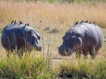 Para hipopotamy chodzi na ziemi z wiele ptakami siedzi na one jako pasażery, safari w Moremi NP, Botswana Obrazy Royalty Free