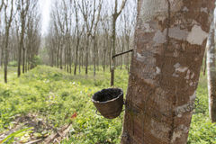 Para-Holzbäume Stockfoto