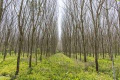 Para-Holzbäume Lizenzfreie Stockbilder