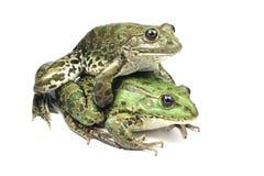 Para ihop av två grodor Royaltyfria Bilder