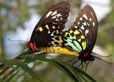 Para ihop för Birdwing fjärilar royaltyfri foto