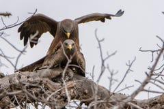 Para ihop för Eagle par arkivbilder