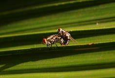 Para ihop för flugor Fotografering för Bildbyråer