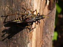 Para ihop för gräshoppor Arkivbilder