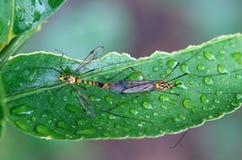 Para ihop för kranflugor Royaltyfri Fotografi