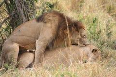 Para ihop för lejon och för lejoninna Arkivbilder