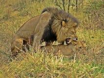 Para ihop för Lions Royaltyfri Bild