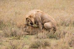 Para ihop för Lions Royaltyfri Fotografi