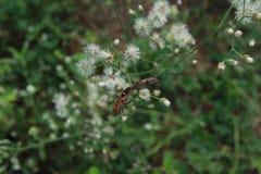 Para ihop för Pyrrhocoris apterus Arkivfoto