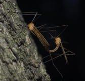 Para ihop för Tipulidae för kranflugor arkivfoton