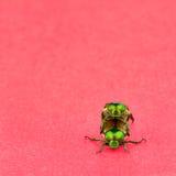 Para ihop för två japanska skalbaggar Arkivfoton