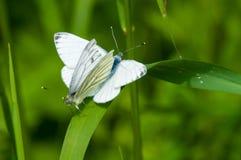 Para ihop fjärilar mot en grön bakgrund royaltyfri foto
