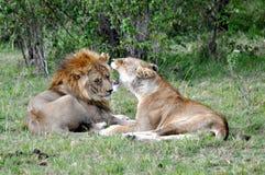 Para ihop lejon i masaien Mara 2 Royaltyfri Foto