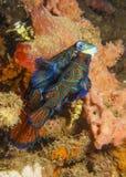 Para ihop Mandarinfish Royaltyfri Fotografi