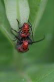 Para ihop Milkweedskalbaggar Arkivbild