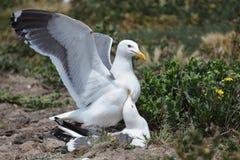 Para ihop Seagulls royaltyfria bilder