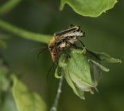 Para ihop soldaten Bugs Royaltyfria Foton