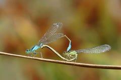 Para ihopDamselflies Arkivbilder