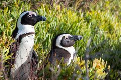 Para Jackass pingwiny stoi w krzakach obrazy stock