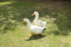 Para kaczki chodzi na trawie Dwa kaczka w bydlęcia gospodarstwie rolnym zdjęcia royalty free